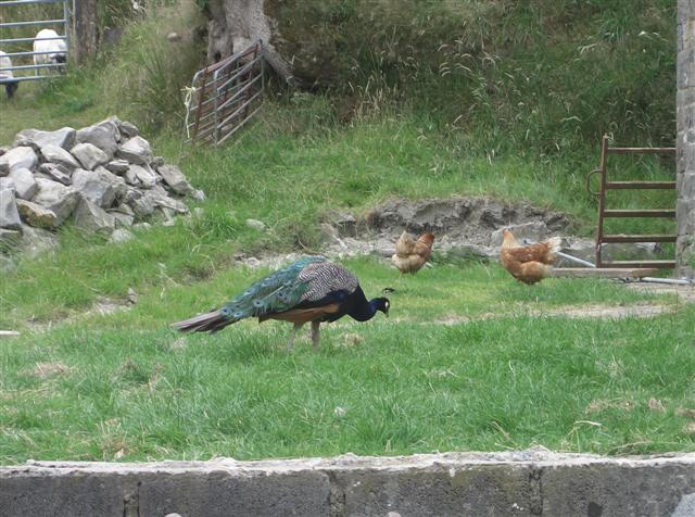 Goodbye to the peacocks and hens, who don't seem to notice our going.