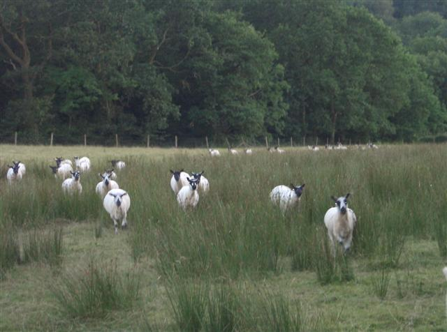 When sheep realise you have food for them, they run rather fast and make the ground shake.