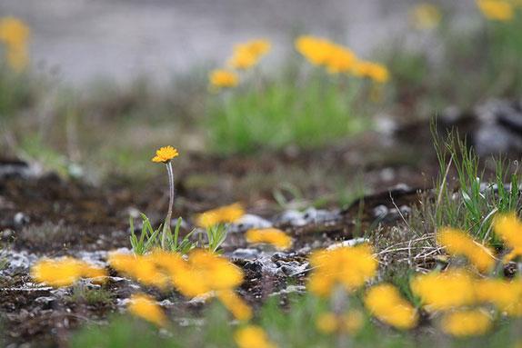 Lakeside Daisy by Matt MacGillivray