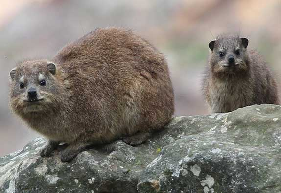 Dassies (rock-dwelling hyrax) by Arthur Chapman