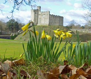Welsh daffodils Cardiff Castle