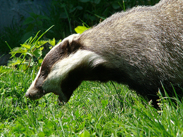 Badger on the Prowl by Karen White
