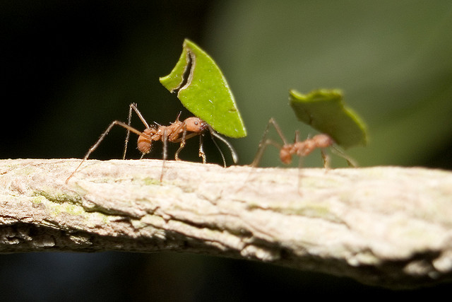 Leafcutter ants by Jon Pinder