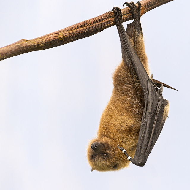 Hanging Fruit Bat by Tambako the Jaguar
