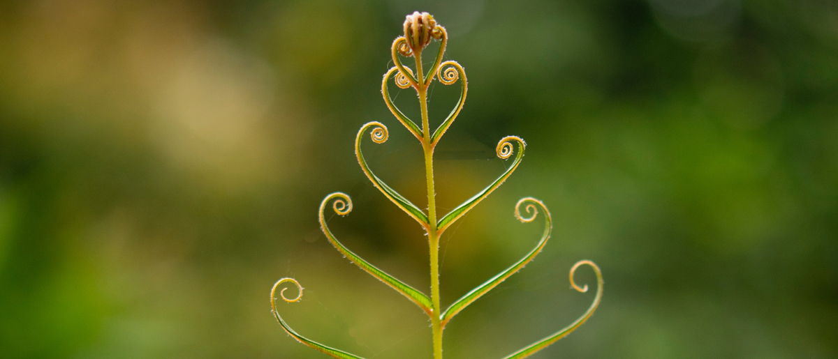 Unfurling fern - image by Elle Coc